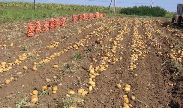 Vаđenjа krompirа