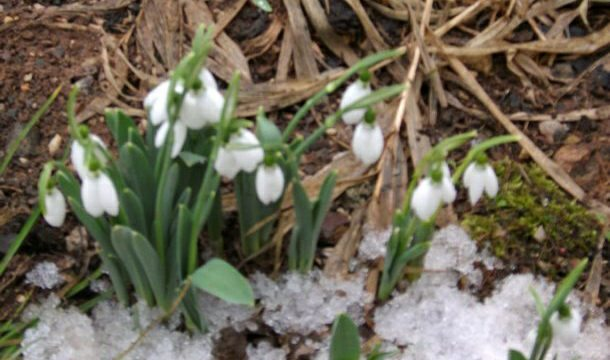 Visibaba ispod snijega