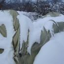 Plastenici pod snijegom