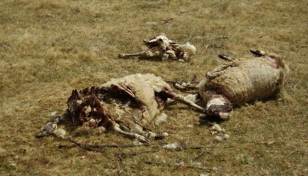 Vukovi napali ovce
