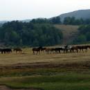 Konji u Batovskom polju