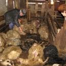 Šakali zaklali ovce