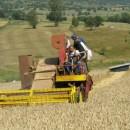 Žetva pšenice na Borikama