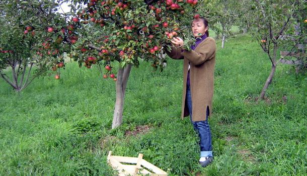 Rogatica-Slađana Ujić u berbi jabuka
