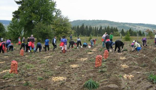 Vađenje krompira na Borikama