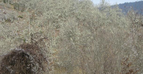 Mahovina na šljivama kod sela Okruglo