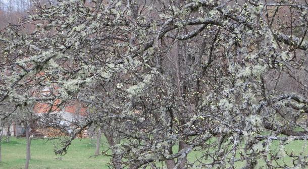 Mahovina na šljivama u okolini Rogatice