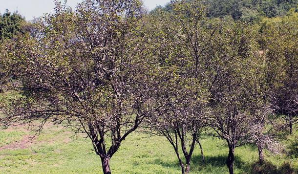 Drvo suvo
