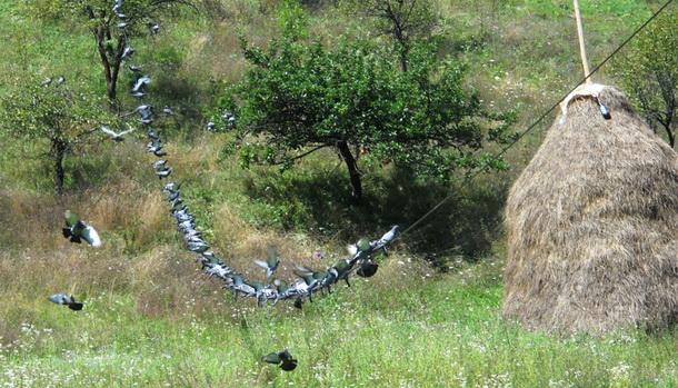 Golubovi na žici