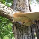 Velika gljiva u Rogatici