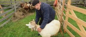 Koza sa neobicnim rastom rogova