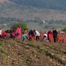 Vadjenje krompira na Borikama