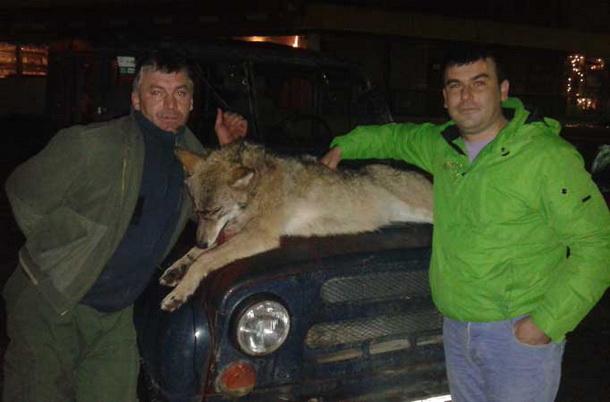 Ubijen vuk u Foci