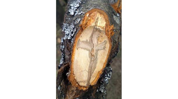 Krst u drvetu