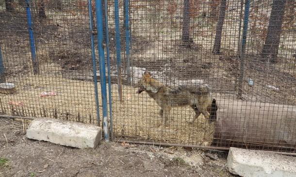 Vuk u kavezu na Borikama