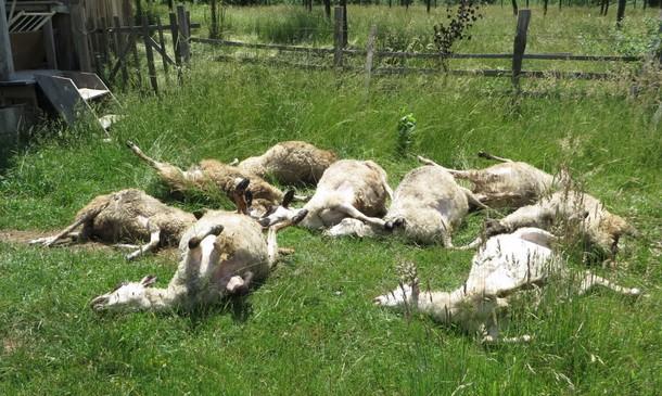 Mamac na koji su se mnogi uhvatili - Page 2 Ovce-grom-610x365