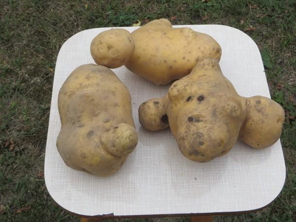 Krompir u Rogatici 4