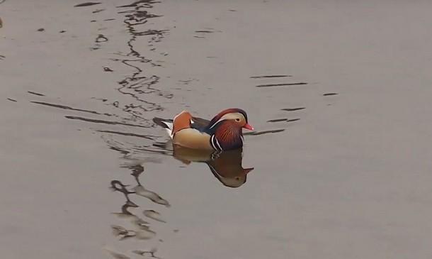 Mandarinska patka u Visegradu