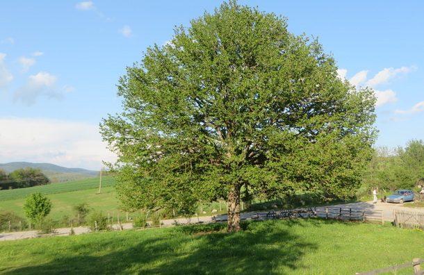Rogatica-mlado drvo lijeske na Lijesci (1)
