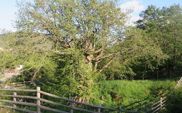 Rogatica-mlado drvo lijeske na Lijesci (2)