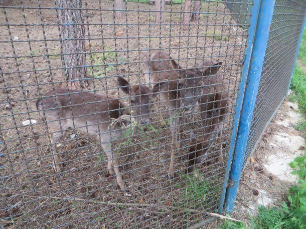 Rogatica-izgladnjele srne lopatara na Borikama