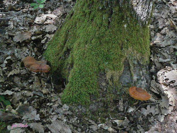 Reisi gljiva (3)