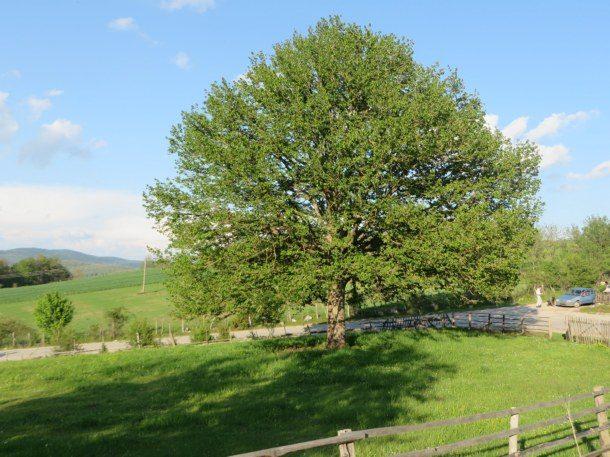 Rogatica-mlado drvo lijeske na Borikama 5