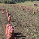 vadjenje-krompira-na-borikama-2