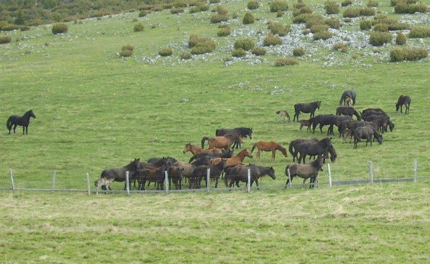 Konji na borikama