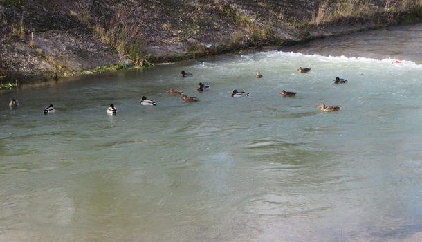 rogatica-divlje-patke-na-rakitnici2