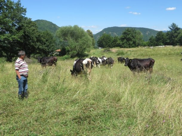 rogatica-krave-iz-farme-vitomira-na-pasi-640x480