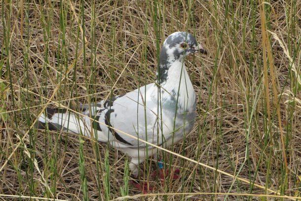 zalutilai-golub-u-rgatici-1