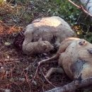 vukovi-zaklali-ovce-u-vardistu-2