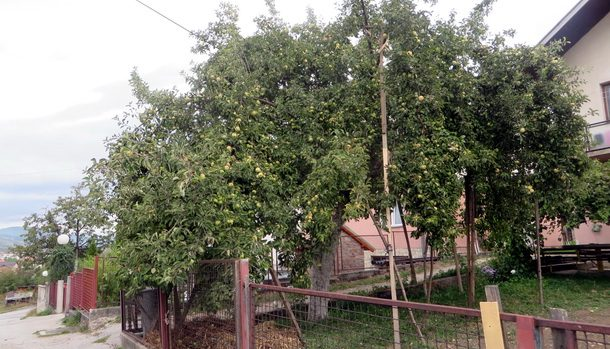 vlajkova-jabuka-1